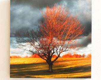 Season of Shaw Tree Fall-a  Prints 5x7 8x10 Standout  10x10 12x12