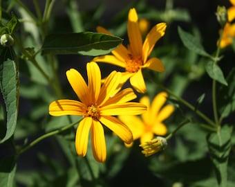 Yellow Heliopsis Seeds