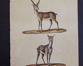 1833 Antelopes, Male and Female. Buffon Antique Handcolored Lithograph. Original. Natural History