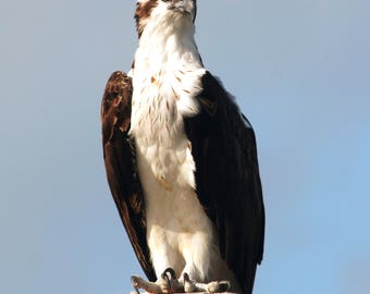 Perching Osprey Looking at Viewer