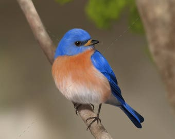 Eastern Bluebird — Giclée print of original painting (authenticated and signed by artist)
