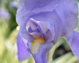 Blue Iris Canvas Print #60