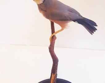 Taxidermy java sparrow taxidermie bird mounted stuffed naturalisé präparat tierpräparat birds chasse