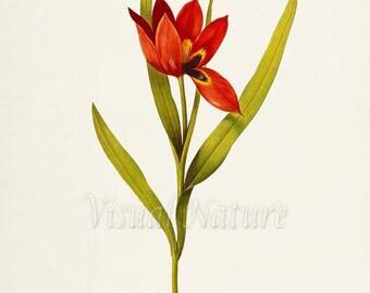 Eyed Tulip Flower Art Print, Botanical Art Print, Flower Wall Art, Flower Print, Floral Print, Red Tulip Art Print