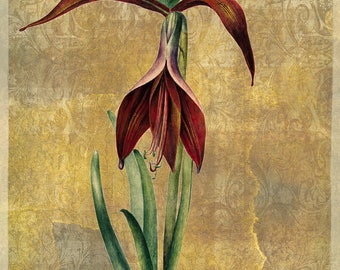 The amaryllis