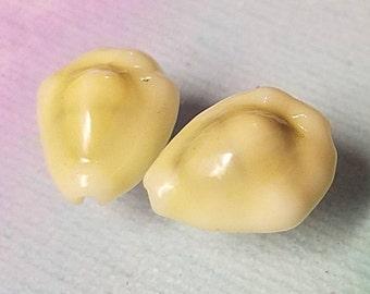 Money Cowrie shell earrings