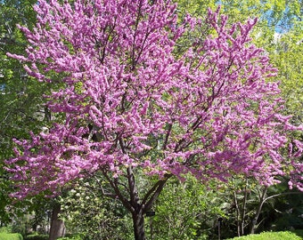 75+ Chinese Redbud (Cercis chinensis) Tree Seeds (Bonsai-Suitable)