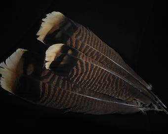 x3 XL Wild Turkey Tail Feathers: Brown and Black - meleagris galopavo TT22