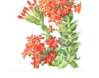 1958 Vintage succulent poster Scarlet Crassula Rochea Coccinea French succulent print Plant poster Botanical art Succulent art