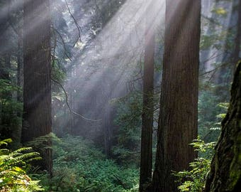 Jedediah Smith Redwoods State Park, Landscape Photography, Metal Print, Large Prints, Del Norte County CA, Northern CA, DJerniganPhoto