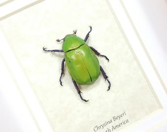 FREE SHIPPING Framed Chrysina Beyeri Pastel Beyer's Scarab Beetle Taxidermy Mounted Spread A1 #04