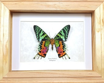 FREE SHIPPING Framed Madagascan Sunset Moth Urania Rhipheus (Chrysiridia rhipheus) Taxidermy A1- #131