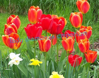 Tulip Bulbs Lot of 8, Orange & Yellow Variegated + Red with Black Centers