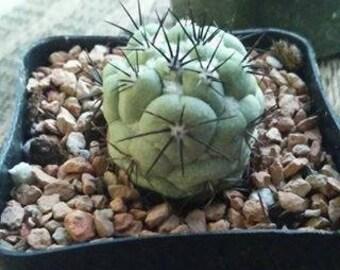 Ortegocactus macdougalii cactus