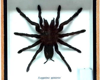 "Real Tarantula Spider, Taxidermy, Framed Insect Display, Eurypeima Spincrus Spider 6"" x 6"""