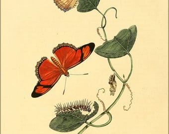 Poster, Many Sizes Available; Illustration Of Dryas Iulia Butterflies C1848