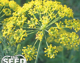 Bouquet Dill Seeds 500 SEEDS NON-GMO
