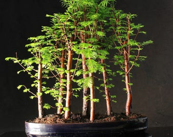 Metasequoia (Dawn Redwood) 45 50 cm Forest Bonsai in oval ceramic pot