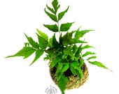 Fern Moss Ball, Indoor Fern Hanging Globe Plant, Holly Fern for Home Decor, Best Moss Ball Gift of Japanese Kokedama