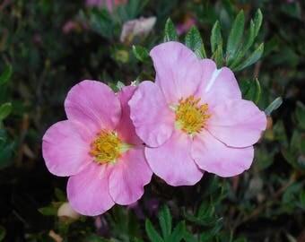 Pink Whisper Potentilla Live Plant