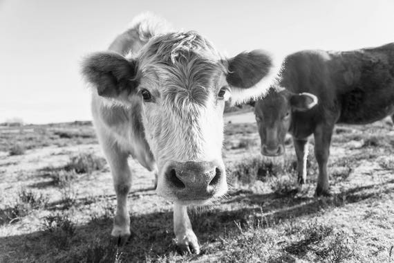 CURIOUS COW. Cow Photography, Large Wall Art Print, Black and White Print, Photography Print, New Forest Animals