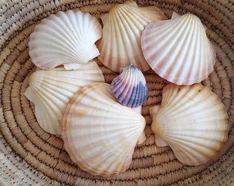 6 Large Scallop (Lion's Paw) Shells