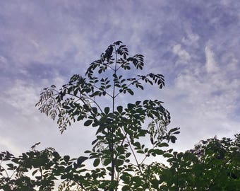 Moringa Oleifera (Live Plant)