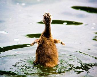 Baby Swan Photo