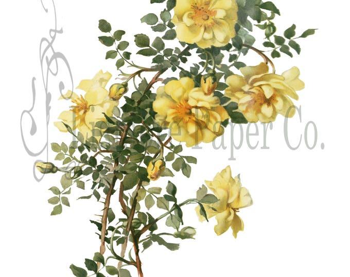 Yellow Scotch Rose Print, Rose Illustration, Botanical Decor, Flower Decor, Digital Art, Printable Art, Instant Download, Architecture Decor