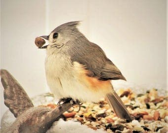 Cute Tufted Titmouse with a peanut