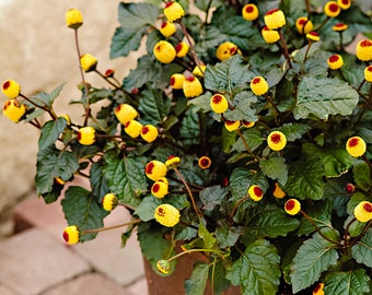 Toothache Plant - Spilanthes Oleracea (280 SEEDS) Perennial Herb