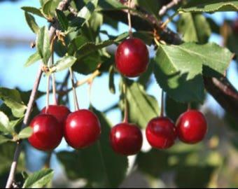 Wild Cherry Lozenges