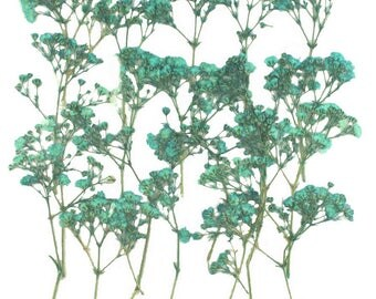 Pressed flowers turquoise baby breath 20pcs for floral art, craft, card making, scrapbooking
