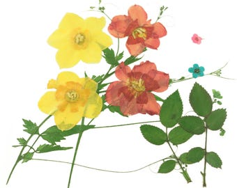 Pressed flowers mixed, yellow daffodils red daffodils, bridal wreath, rose leaves, foliage for floral art, craft, card making, scrapbooking