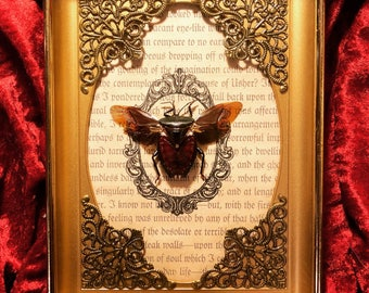 Euthenestes robustus insect in vintage shadowbox