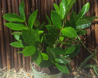 """ZZ Plant Cardboard Palm Zamioculcas Growing in a 6"""" Pot"""