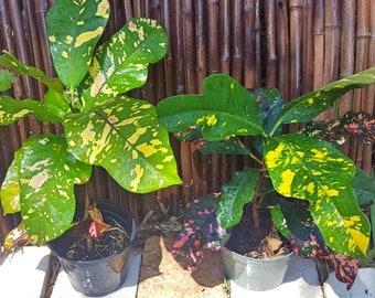"Croton 'Magnificent' Codiaeum variegatum Growing in a 6"" pot House/Patio/Garden/Indoor/Outdoor Plant"