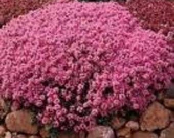 Creeping Mother of Thyme - 200 Seeds