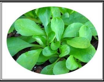 """400 Mg Mâche Corn Salad Seed """"Baron"""" ~ Sweet European Salad Greens ~ 200 Seeds"""