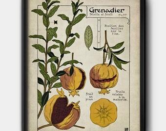 Pomegranate tree · French Illustration · Vintage · 1900s · Instant Download · Botanical · Printable #175