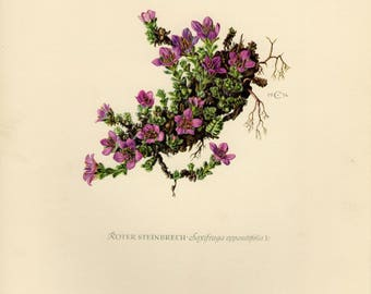 Vintage lithograph of the purple saxifrage or purple mountain saxifrage from 1954