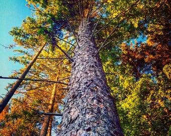 Tall Fall Tree