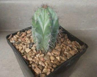 Polaskia Chichipe Cactus Succulent