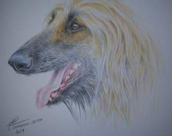 "Colourerd Pencil Sketch Print ""Afghan Hound"" by Sue Rathbone-Britch."