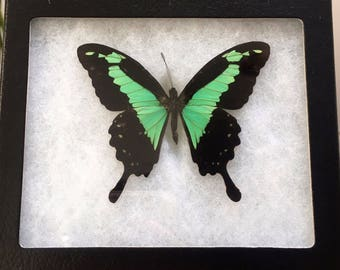 Framed Papilio Phorcas Butterfly
