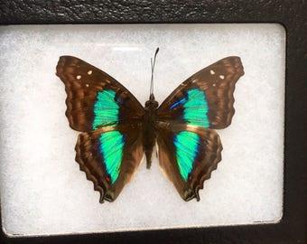Framed Doxocopa Cherubina Butterfly