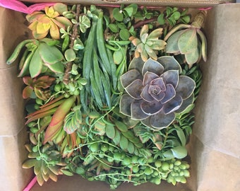"60 cuttings approx 2"" each. Makes cute little gifts for your guests."