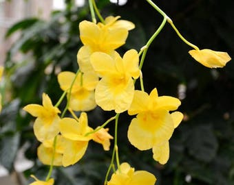 Yellow Flowers In a Botanical Garden/ Greenhouse