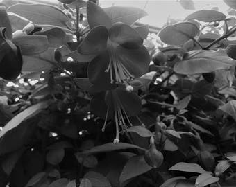 Botanical, Fuschia, Black and White, Flowers, Flora, Photography, Print