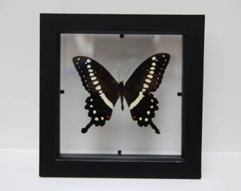 Papilio Lormieri Butterfly/Insect/Taxidermy